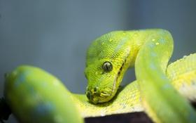 Картинка макро, змея, чешуя, зелёный, питон, рептилия