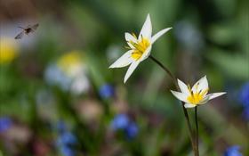 Обои цветы, природа, размытость, белые, шмель