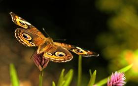 Картинка лето, макро, бабочка