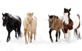 Обои снег, природа, кони