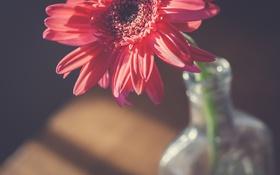 Обои цветок, лепестки, гербера