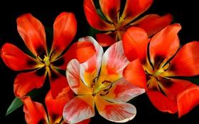 Обои тюльпаны, лепестки, природа, макро