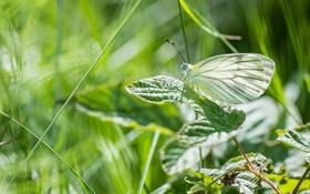 Обои лето, макро, бабочка, зелёный, крылышки