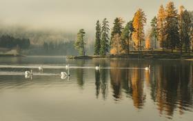 Обои дождливая, зеркало, озеро, деревья, лебеди, туман, отражение