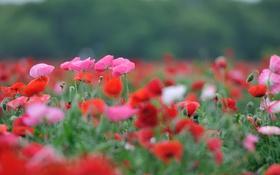 Обои поле, цветы, маки, луг