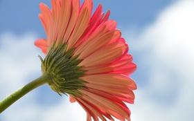 Картинка цветок, небо, лепестки, стебель, гербера