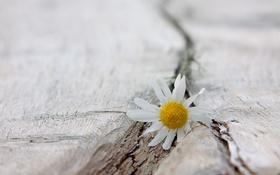 Картинка цветок, фон, ромашка
