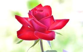 Обои красная, лепестки, фон, роза