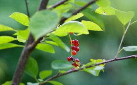 Обои ветка, ягоды, макро, листья