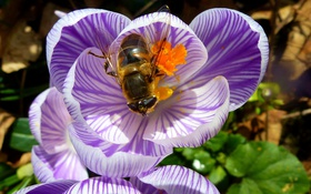 Картинка цветок, пчела, лепестки, насекомое, крокус