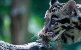 Обои взгляд, окрас, дикая кошка, дымчатый леопард
