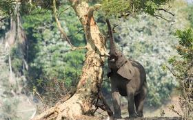 Обои дерево, Африканский слон, хобот, природа