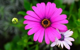 Обои цветы, природа, растение, лепестки