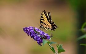 Картинка цветок, бабочка, парусник