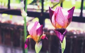 Картинка цветы, лепестки, ирис