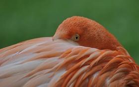 Обои птица, краски, перья, фламинго