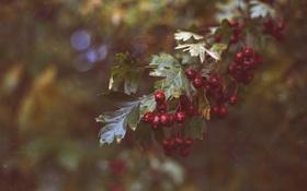 Картинка листья, ягоды, красные