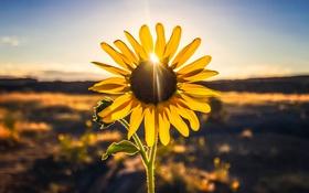 Картинка бутон, солнце, лепестки, стебель, подсолнечника, листья