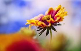 Картинка цветок, макро, растение, эхинацея