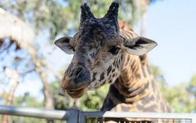 Обои пятна, морда, жираф, зоопарк, свет, портрет
