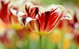 Обои макро, природа, тюльпан, лепестки