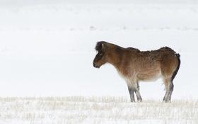 Обои Iceland, Icelandic horse, Skogafoss