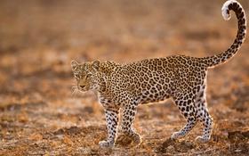 Обои поле, глаза, леопард, хвост, живая природа
