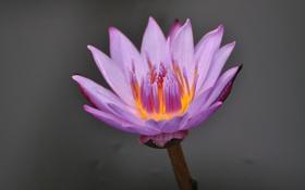 Картинка цветок, вода, лилия, лепестки