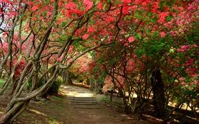 Обои деревья, цветы, парк, дорожка, ступени, рододендрон