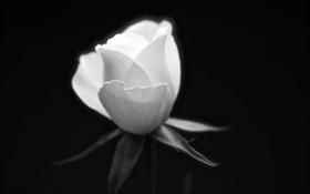 Картинка лепестки, роза, макро, листья