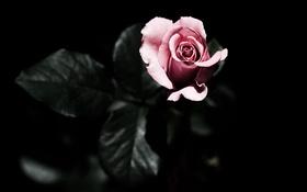 Обои цветы, розовая, роза