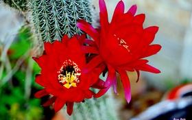 Обои макро, красный, Цветок, flower