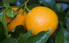 Обои листья, апельсины, плоды, фрукты