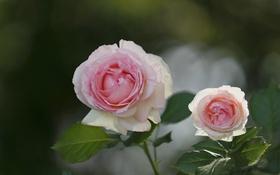 Картинка макро, розы, бутоны