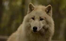 Обои взгляд, природа, волк, размытость