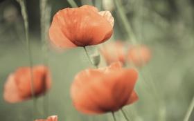 Картинка цветы, маки, боке