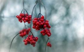 Картинка осень, природа, ягоды