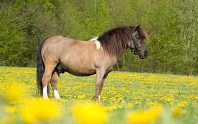 Картинка поле, природа, животное, лошадь, желтые цветы