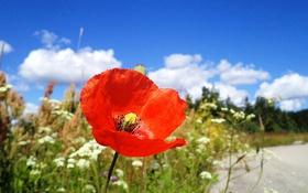 Картинка небо, трава, макро, природа, мак, лепестки, стебель