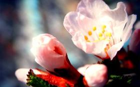 Обои природа, вишня, Цветы, весна, сакура, цветение, flower