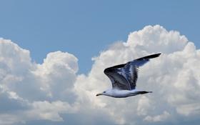 Обои небо, облака, птица, чайка