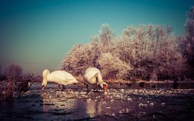 Обои зима, небо, деревья, озеро, утки, лебеди, замороженные