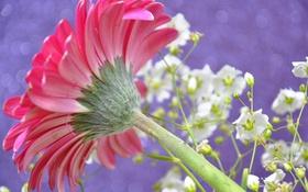 Картинка стебель, растение, лепестки, гербера