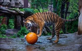 Обои полоски, дикая кошка, хищник, игра, тигр