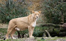 Картинка львица, взгляд, кошка