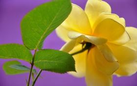 Картинка листья, макро, природа, роза, лепестки
