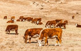 Обои поле, ферма, коров
