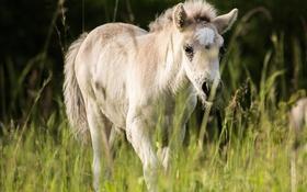 Обои лошадь, луг, детеныш, жеребенок
