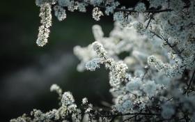 Картинка цветы, природа, дерево, яблоня