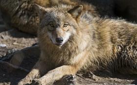 Обои взгляд, волк, хищник, ©Tambako The Jaguar